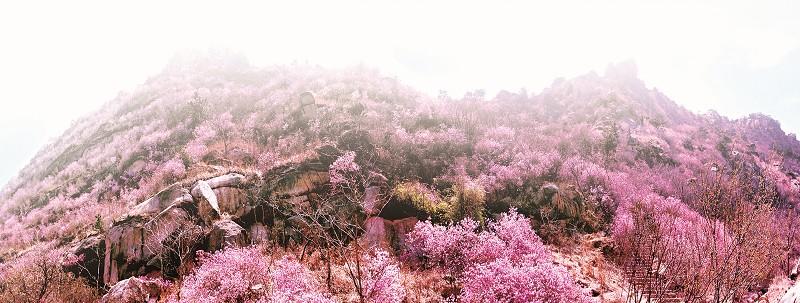 3月30日,一年一度的大珠山杜鹃花会再次盛装开幕。乍暖还寒的春光里,大珠山珠山秀谷的万亩野生杜鹃花次第开放,为市民提供了一处踏青休闲的绝佳去处。预计随着气温的逐渐回升,清明节后,杜鹃花将进入大面积盛开的盛花期,并且由于去年冬天雨水比较充沛,今年杜鹃花花苞更多更大、花色更美,预计将迎来数年以来最佳的观赏效果。为便于游客即时了解开花情况,合理安排行程,黄岛区旅游局官方微博(新浪)专门开辟了花情预报,每日对花情即时播报。   经过连续多年的倾力打造,杜鹃花会已成为青岛春季旅游的第一品牌。作为市民的节日、游