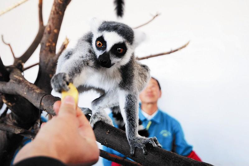 据青岛森林野生动物世界动管部经理张双歌介绍