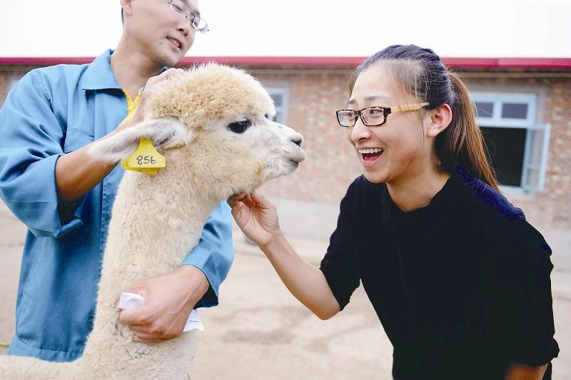 首批羊驼搬进新家