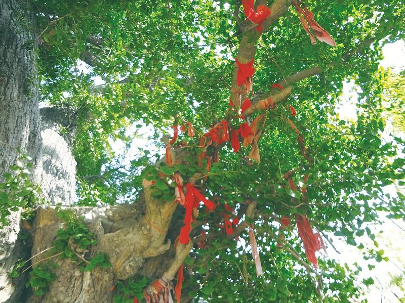 先有银杏后有村,古树红带祈安康