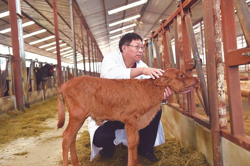 我国首批转基因克隆牛繁育后代