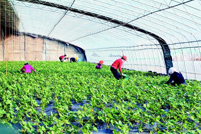 海青镇荣灿生态农业园里,记者却看到了一派繁忙的景象,村民们正在茶园